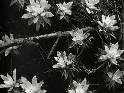 Succulents, c. 1950