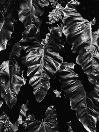 Leaves, Hawaii, c. 1985