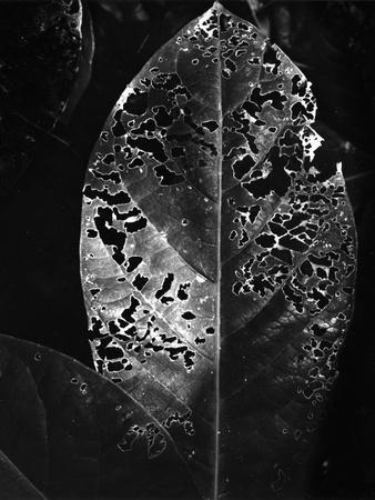 Leaf, Hawaii, c. 1985