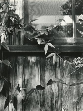 Window and Vines, 1952