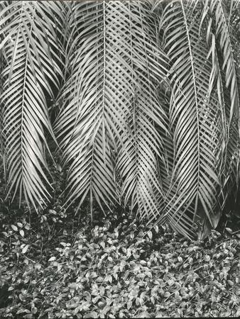 Fern, Small Leaves, Bronx Botanical Garden, New York, 1945