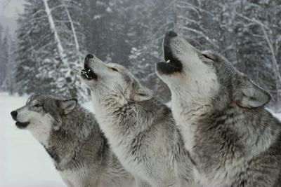 Trio of Gray Wolves, Canis Lupus, Howl in Unison