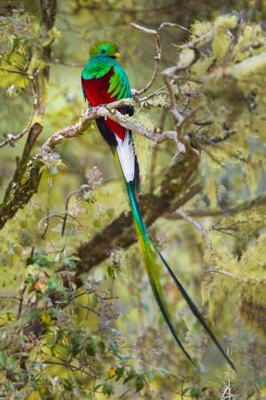 Resplendent quetzal (Pharomachrus mocinno) perching on branch, Talamanca Mountains, Costa Rica