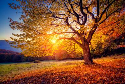 Majestic Alone Beech Tree on a Hill Slope with Sunny Beams at Mountain Valley. Dramatic Colorful Mo