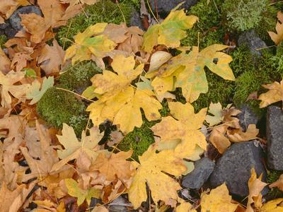 OR, Columbia River Gorge National Scenic Area. Autumn leaves of bigleaf maple on ground
