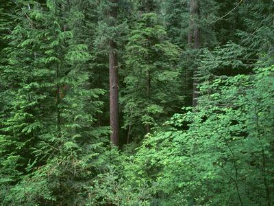 OR, Willamette NF. Middle Santiam Wilderness, Old-growth forest with Douglas fir, western hemlock