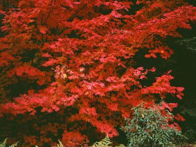 Oregon, Mount Hood NF. Bright red leaves of vine maple in autumn contrast with ferns and shrub.