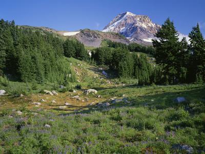 OR, Mount Hood NF. Mount Hood Wilderness, Summer meadow of lupine blooms