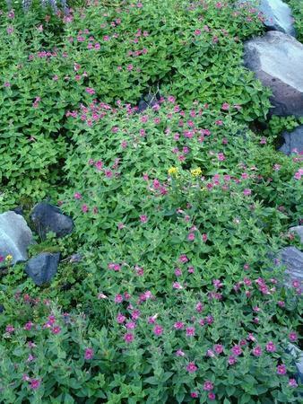Oregon. Mount Hood NF, Mount Hood Wilderness, purple blossoms of Lewis monkeyflower