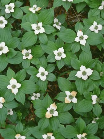 Oregon. Willamette National Forest, bunchberry (Cornus canadensis) in bloom near the Roaring River.