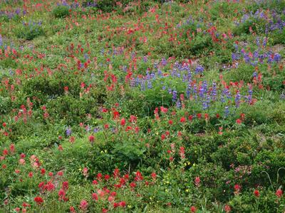 OR, Mount Hood NF. Mount Hood Wilderness, Paintbrush, lupine and heather display