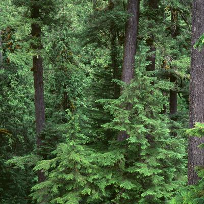 Oregon. Willamette NF, Middle Santiam Wilderness, Old-growth forest with large Douglas fir