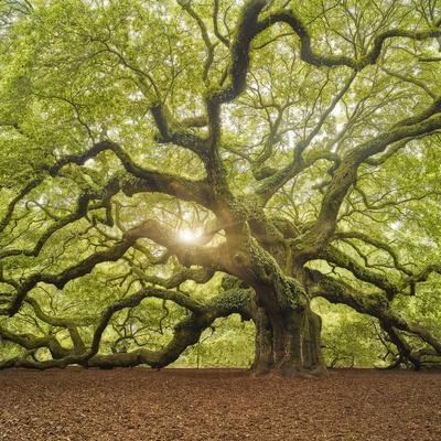 The Tree Square-Edit OL