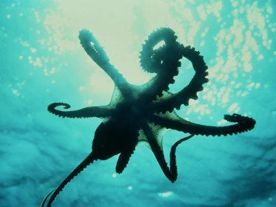 Octopus Parachuting Down on Top of its Prey