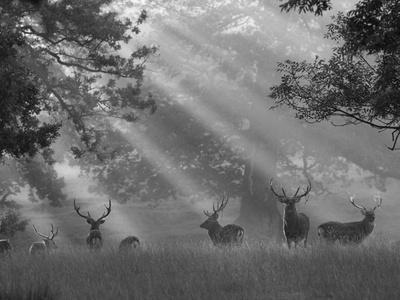 Deer in Morning Mist, Woburn Abbey Park, Woburn, Bedfordshire, England, United Kingdom, Europe
