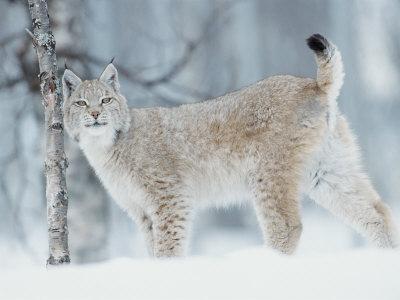European Lynx in Birch Forest in Snow, Norway