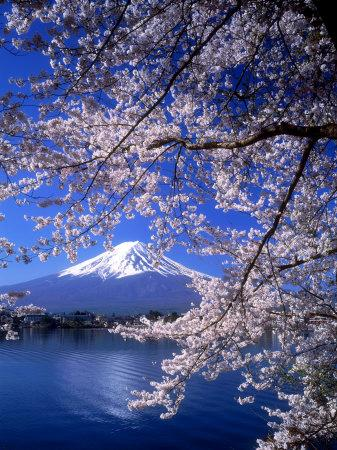 Cherry Blossoms and Mt. Fuji