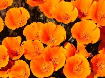 California Poppy Reserve, Antelope Valley, California