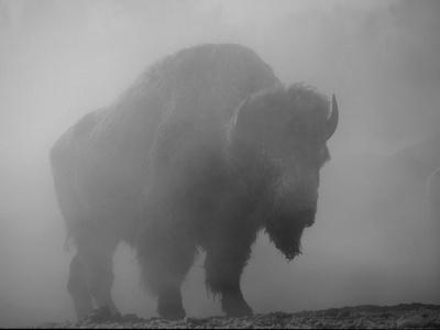 Bison, Bull Silhouetted in Dawn Mist, Yellowstone National Park, USA