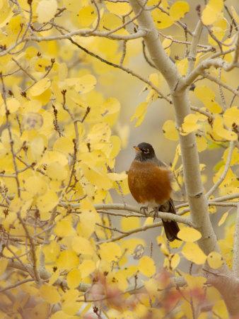 Male American Robin in Aspen Tree, Grand Teton National Park, Wyoming, USA