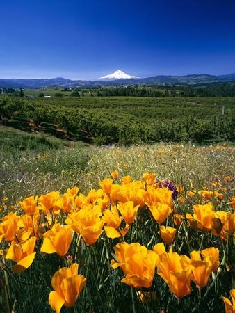 California Poppies and Mount Hood