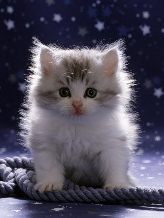 Domestic Cat, 7-Week Fluffy Silver and White Kitten