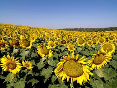 Sunflower Field Near Cordoba, Andalusia, Spain, Europe