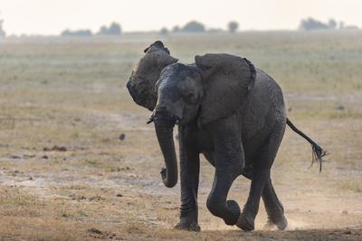 African elephant, Loxodonta africana, running, Chobe river, Botswana, Southern Africa