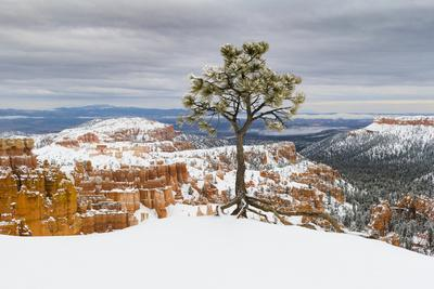Pine tree in winter clings to the rim at Bryce Canyon National Park, Utah, USA