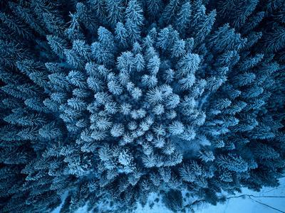 Aerial View from above of Winter Forest Covered in Snow. Pine Tree and Spruce Forest Top View. Cold