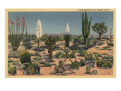 California - Varieties of Desert Cacti