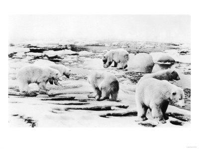 Alaska View of 6 huge Polar Bears Hunting Photograph