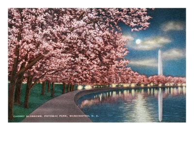 Washington DC, Potomac Park and Blossoming Cherry Trees Scene at Night