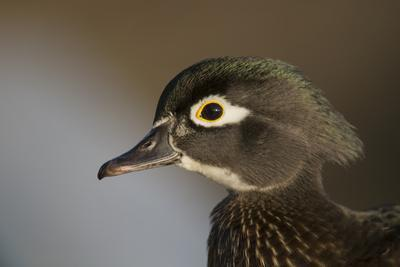 Wood duck female, close-up of head.