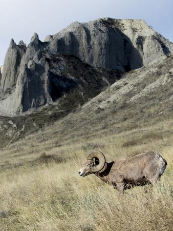 Rocky Mountain bighorn sheep grazing in grasslands. Mature rams.