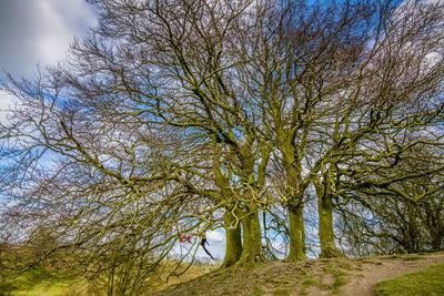 A grove of trees at Avebury, UK, a major Neolithic and medieval site.