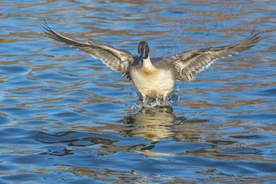The northern pintail is a duck that breeds in the northern areas of Europe, Asia and North America.
