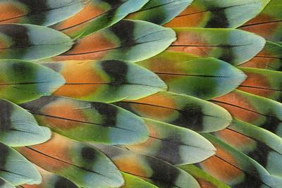 Lovebird tail feather pattern, Bandon, Oregon