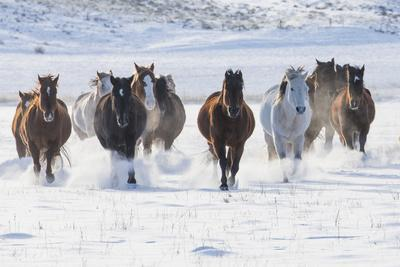 Cowboy horse drive on Hideout Ranch, Shell, Wyoming. Herd of horses running in snow.