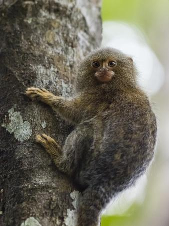 Adult pygmy marmoset (Cebuella pygmaea), Lake Clavero, Amazon Basin, Loreto, Peru