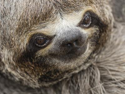 Baby brown-throated sloth (Bradypus variegatus), San Francisco, Amazon Basin, Loreto, Peru