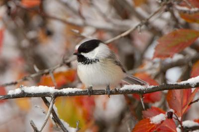 Adult Black-capped Chickadee in Snow, Grand Teton NP,Wyoming
