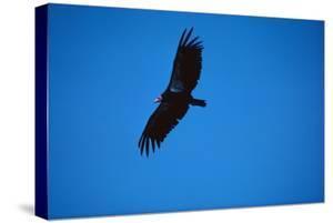 Soaring California Condor by W. Perry Conway